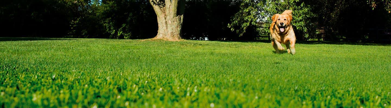 golden retriever dog running across the garden towards the camera. banner image