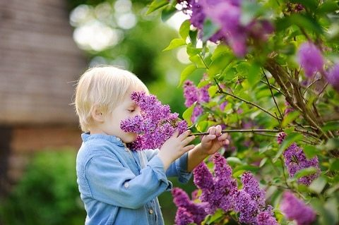 Cute little blonde hair boy enjoy blooming lilac in the domestic garden in warm day.