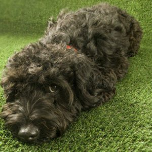 black fluffy dog lays on fake grass