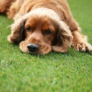 Dog laying on namgrass Eclipse