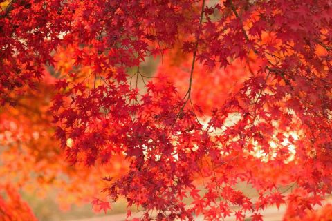 Orange Acer Trees | Plants for a Colourful Autumn Garden | Garden Design Blog