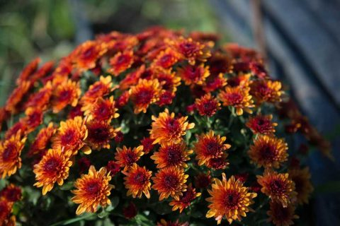 Orange Chrysanthemums | Plants for a Colourful Autumn Garden | Garden Design