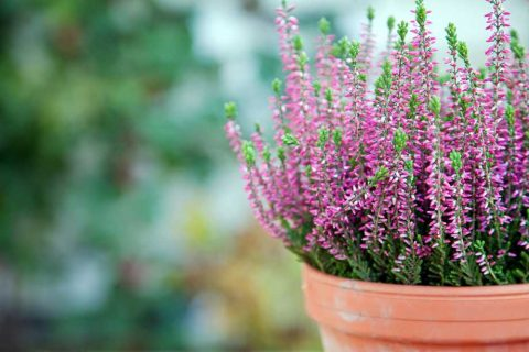 Pink Flowering Heather | Plants for a Colourful Autumn Garden | Garden Design Blog