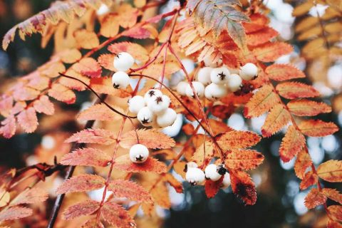 Orange leaves white berries | Sorbus Tree | Plants for a Colourful Autumn Garden | Garden Design Blog
