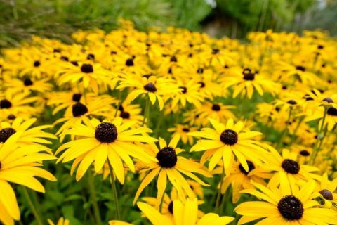 Yellow Rudbeckia | Plants for a Colourful Autumn Garden | Garden Design Blog